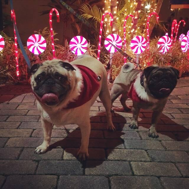 two pugs at Christmas time in Virgin Islands